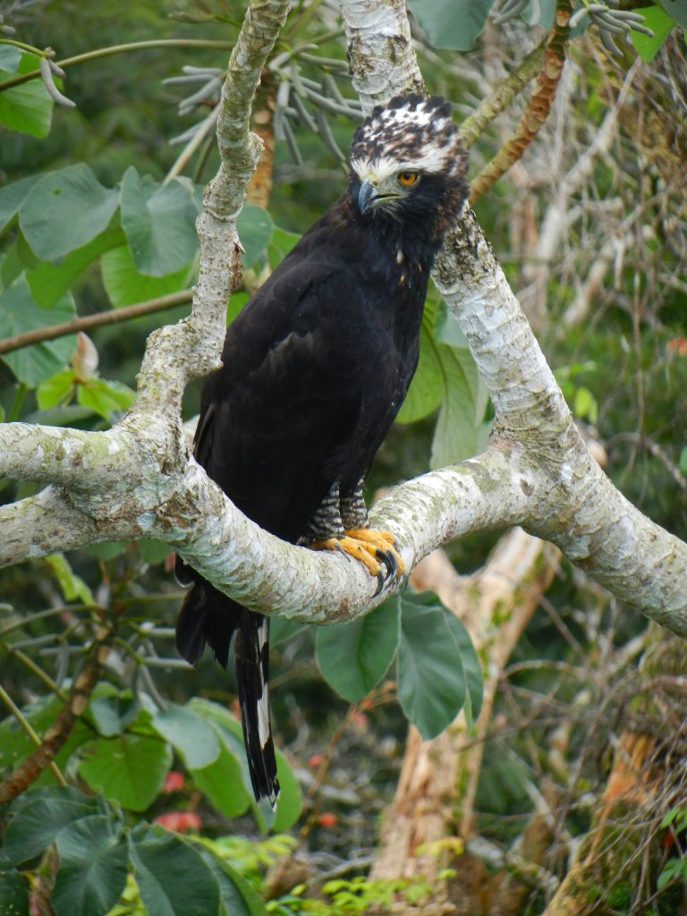 Black Hawk-Eagle Panama