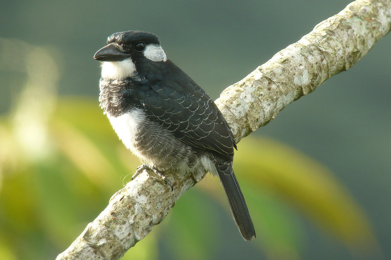 Black-breasted Puffbird Canopy Tower Panama