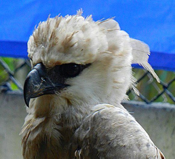 Harpy Eagle Summit Panama