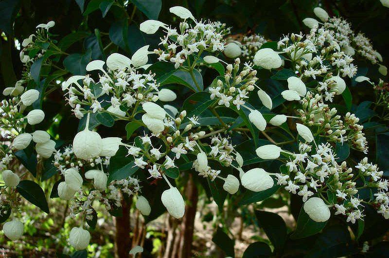 Calcophyllum candidsissimum