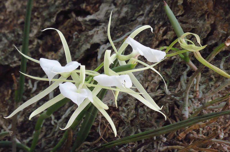 Lady of the Night Orchid Brassavola nodosa