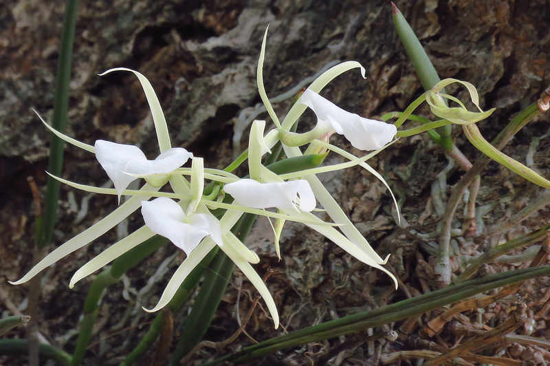 Lady of the Night Orchid Brassavola nodosa