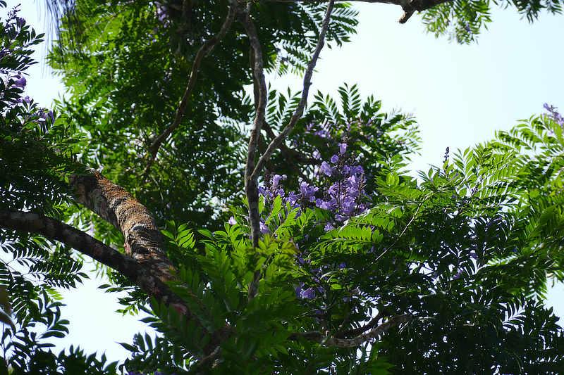 Jacaranda copaia Nazareno Panama