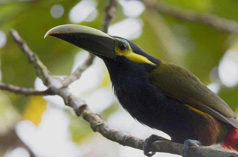 Yellow-eared Toucanet Panama