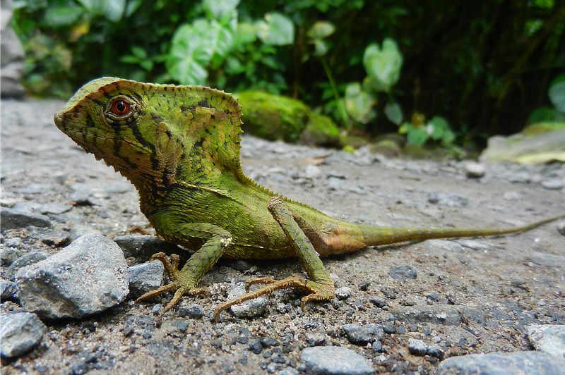 Helmeted Iguana Corytophanes cristatus