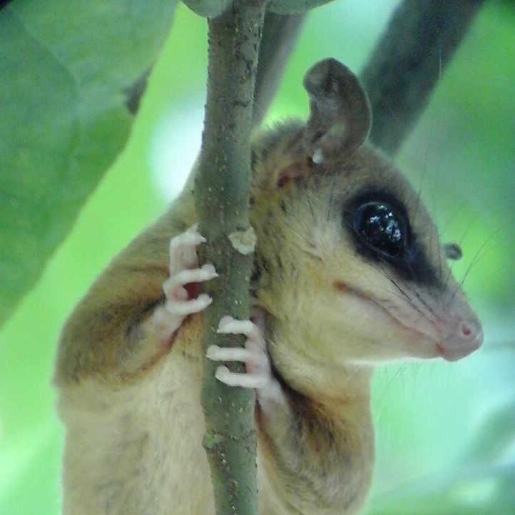 Robinson's Mouse Oposum