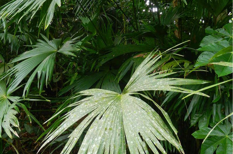 Panama Hat Plant Carludovica palmata