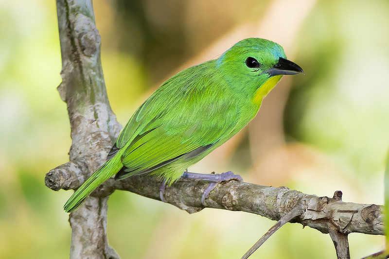 Green Shrike-Vireo