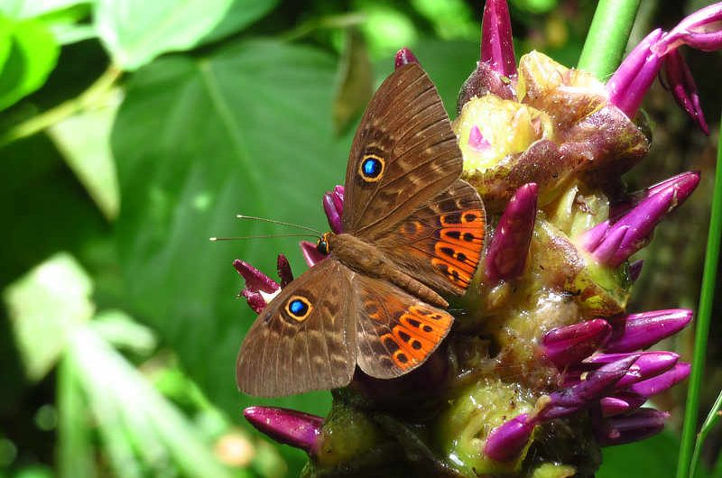 Great Eurybia Eurybia patrona persona Panama