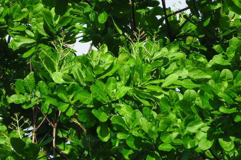 Wild Cashew Anacardium excelsum