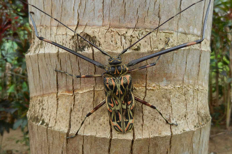 Harlequin Beetle Acrocinus longimanus