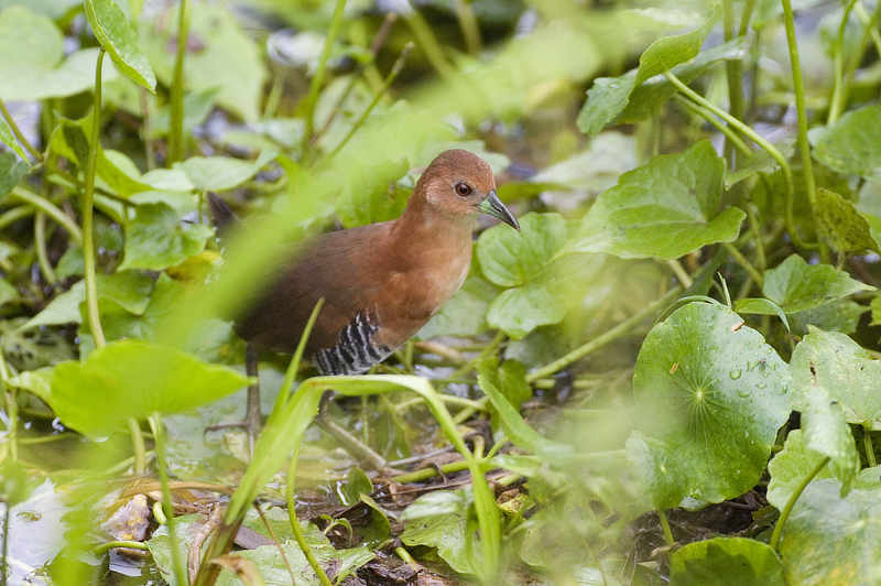 White-throated Crake