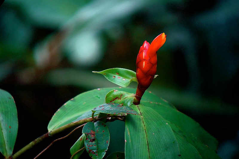 Rough Ginger Costus scaber