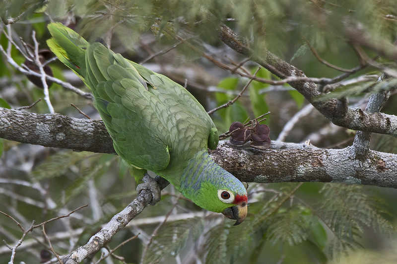 Red-lored Parrot Amazona autumnalis