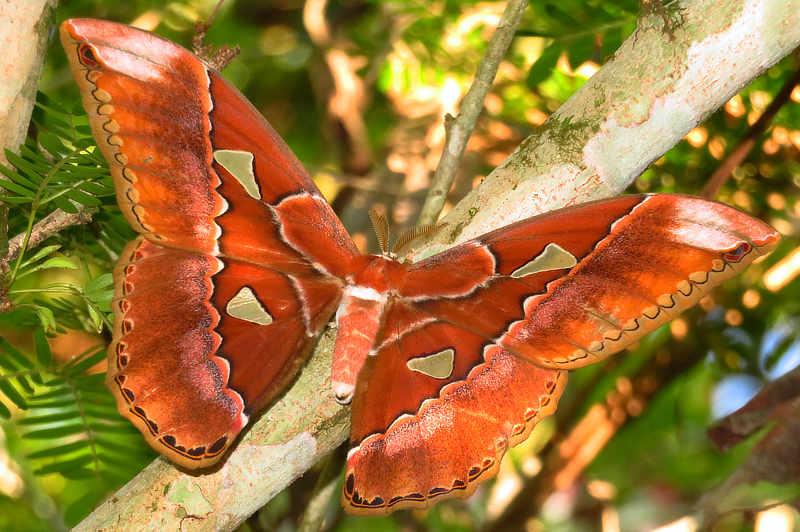 Rothchild's Silk Moth Rothschildia triloba