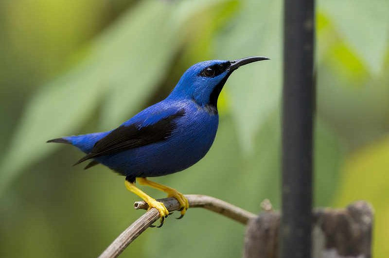 Shining Honeycreeper
