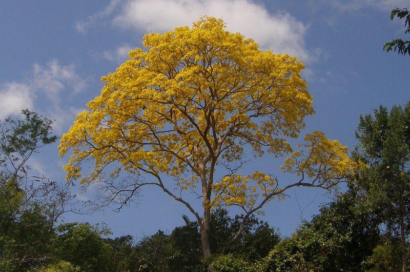Guayacan Tabebuia guayacan Panama