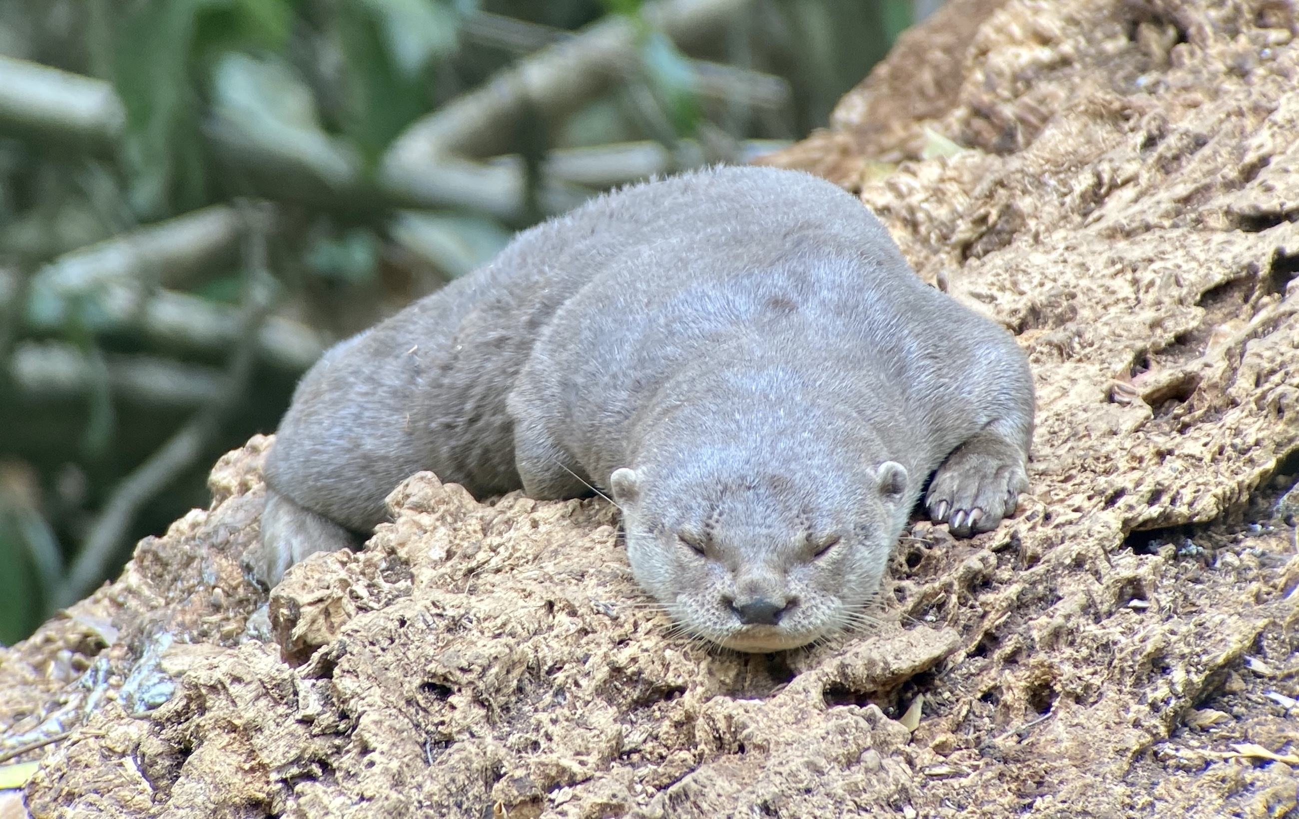 Neotropical River Otter