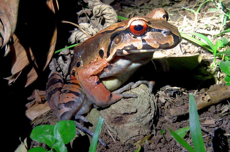 Smoky Jungle Frog Leptodactylus savagei