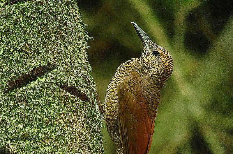 Northern Barred-Woodcreeper Panama