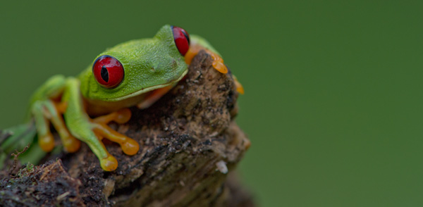 Red-eyed Tree Frog Panama