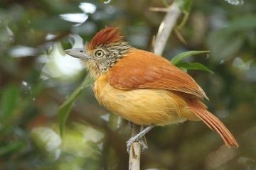 Barred Antshrike female Trinidad