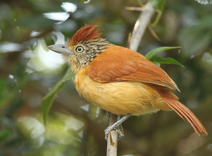 Barred Antshrike female Trinidad