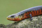 Coral Scorpion Lizard (Diploglosus monotropis)