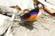 Glossy Daggerwing Marpesia furcula