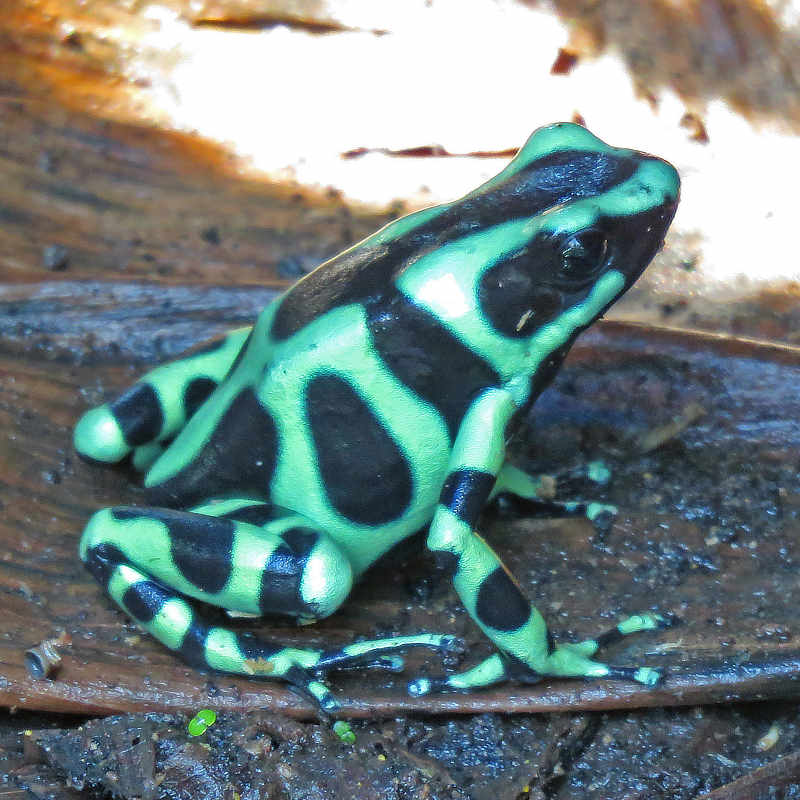 Herpetology at the Isthmus – The Canopy Family