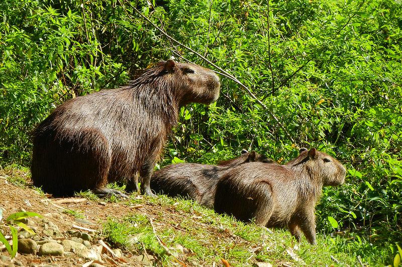 Lesser Capybaras