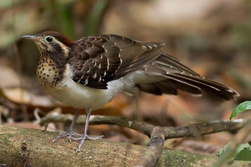 Pheasant Cuckoo