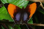 Purple-stained Daggerwing