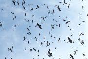 Panama Raptor Migration