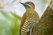 Stripe-cheeked Woodpecker