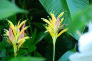 Yellow Panama Heliconia hirsuta