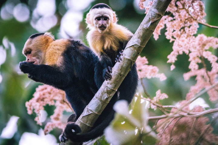 White-faced Capuchins Canopy Camp Panama