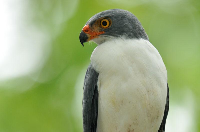 Semiplumbeous Hawk
