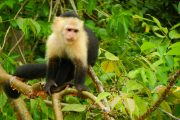 White-faced Capuchin Panama