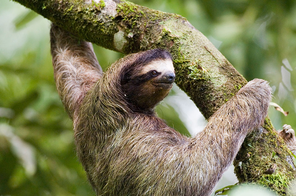 Canopy Family Tour Add Ons - Sloth in tree