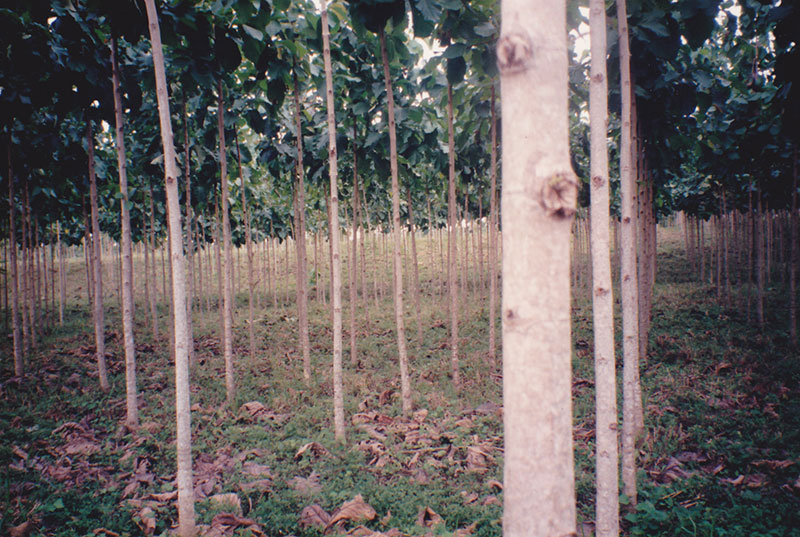 Canopy Camp - Teak Plantation in 1995