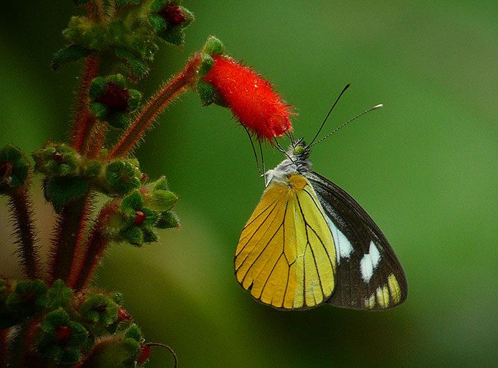 Bluish White (Leptophobia caesia)