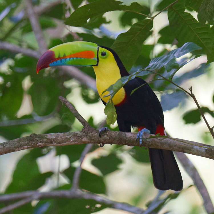 Canopy Tower Activities - Bird Activities - Keel-billed Toucan