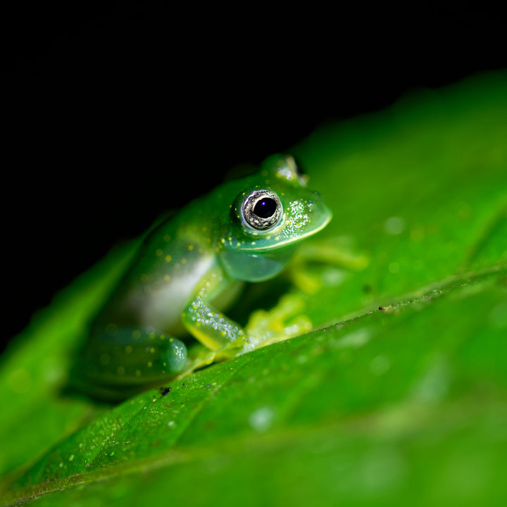 White-spotted Glass Frog