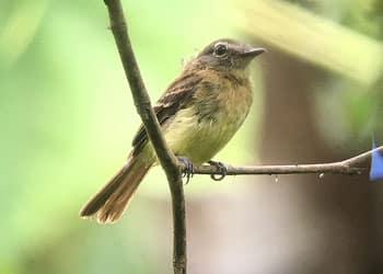 Black-billed Flycatcher