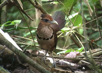 rufous vented ground cuckoo