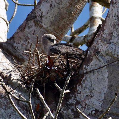 Crested Eagle Panama