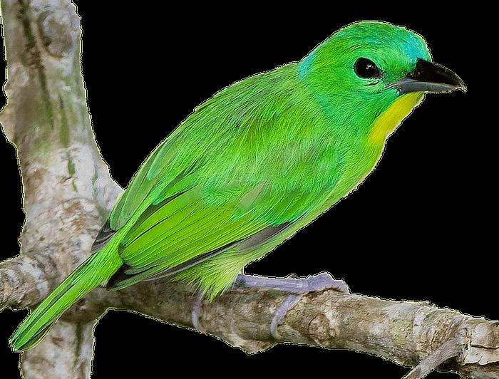 Green Shrike-Vireo Panama