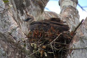 Crested-Eagle-3-JS