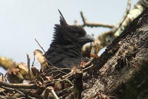 Crested-Eagle-DA
